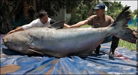 7. Рыбаки из северной части Таиланда демонстрируют сома, пойманного ими на реке Меконг.