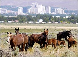 Wild horses in the hills above Reno