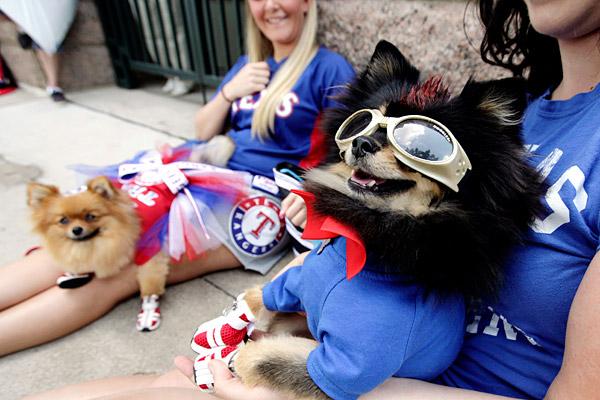Texas Rangers dressed Pomeranians