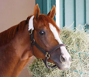 California Chrome looks out from his stall after arriving at Pimlico Race Course.